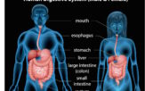 male and female human digestive system overview