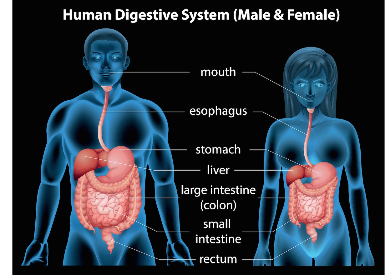 The Human Digestive System In Action Heal Restore